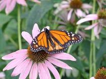 Motyl na gałąź Fotografia Royalty Free