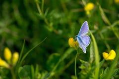 Motyl na gras Zdjęcia Royalty Free