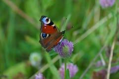 Motyl na kwiacie Zdjęcia Royalty Free