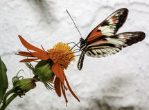 Motyl na kwiacie Zdjęcie Stock