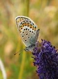 Motyl na kwiacie Obrazy Royalty Free