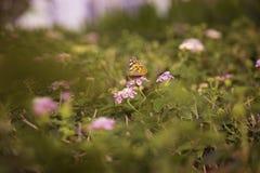 Motyl na kwiacie Obraz Royalty Free