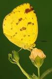 MOTYL NA kwiacie, Eurema hecabe zdjęcie stock