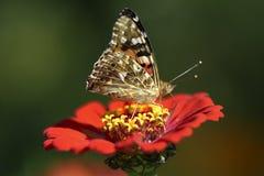 Motyl na kwiacie od ogródu Obrazy Royalty Free