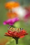 Motyl na kwiacie od ogródu Fotografia Royalty Free