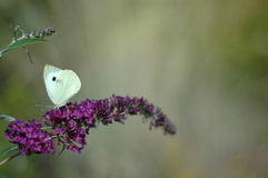 Motyl na kwiacie w ogródzie Fotografia Royalty Free