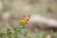 Motyl na kwiacie z zielonymi liśćmi obrazy stock