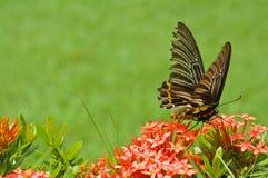 Motyl na kwiatach Obrazy Stock