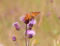 Motyl na kwiatach Fotografia Stock
