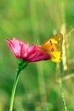 Motyl na kwiatach Zdjęcia Royalty Free