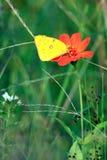 Motyl na kwiatach Zdjęcie Stock