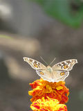 Motyl na kwiatu tle Fotografia Stock
