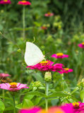 Motyl na kwiatu tle Zdjęcie Royalty Free