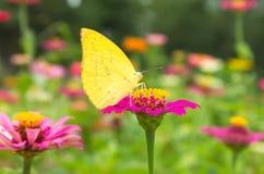 Motyl na kwiatu tle Zdjęcia Royalty Free