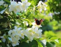 Motyl na kwitnącym jaśminowym krzaku Fotografia Royalty Free