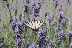 Motyl na lawendowym polu Obrazy Royalty Free