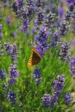 Motyl na lawendzie Zdjęcia Stock