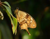 Motyl na Liść Zdjęcia Royalty Free