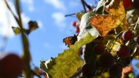 Motyl na liściu winogrona kiwa w wiatrze zdjęcie wideo