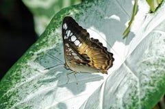Motyl na liściu Fotografia Royalty Free