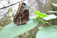Motyl na liściu Zdjęcie Royalty Free
