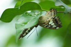 Motyl na liściu Obraz Royalty Free