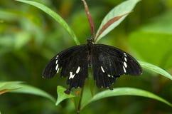 Motyl na liściu Obrazy Royalty Free