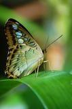 Motyl na liściu w tropikalnym lesie deszczowym Fotografia Royalty Free