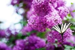 Motyl na lilych kwiatach zdjęcia stock