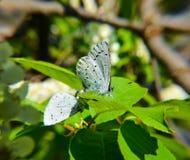 Motyl na lilym krzaku Obraz Royalty Free