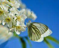 Motyl na lilym krzaku Fotografia Stock