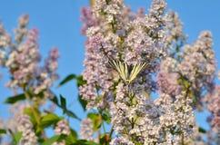Motyl na lilym kwiacie przeciw niebieskiemu niebu swallowtail motyla obrazy stock