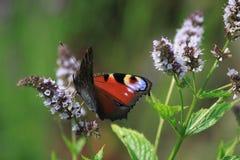 Motyl na miętówce Obraz Royalty Free
