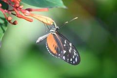Motyl na okulizowanie Tropikalnym Pomarańczowym kwiacie Obraz Royalty Free