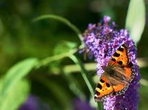 Motyl na okwitnięciu Zdjęcia Stock