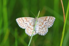 Motyl na ostrzu Fotografia Royalty Free