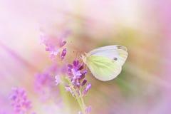 Motyl na pięknej lawendzie Obraz Stock