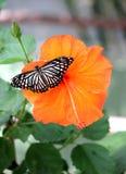 Motyl na poślubniku - vertical Obraz Royalty Free
