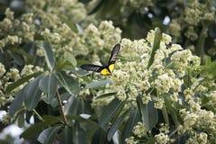 Motyl na pollen drzewo Obrazy Royalty Free