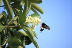 Motyl na pollen drzewo Fotografia Stock