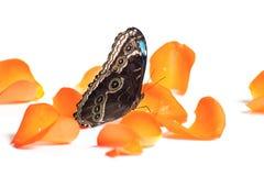 Motyl na pomarańczowych płatkach Zdjęcia Stock
