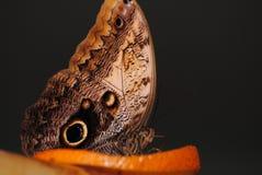 Motyl na pomarańczowych plasterkach Fotografia Royalty Free