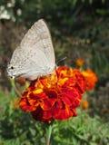 Motyl na pomarańczowym nagietku Obraz Royalty Free