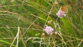 Motyl na różowym kwiacie Zdjęcie Royalty Free