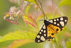Motyl na roślinie Zdjęcia Royalty Free