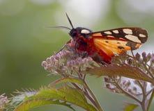 Motyl na roślinie Obrazy Royalty Free