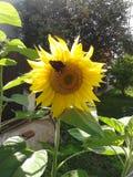 Motyl na słoneczniku zdjęcie stock