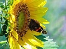 Motyl na słoneczniku Obrazy Royalty Free