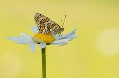 Motyl na stokrotce Zdjęcia Royalty Free