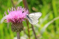 Motyl na tistel Zdjęcie Royalty Free